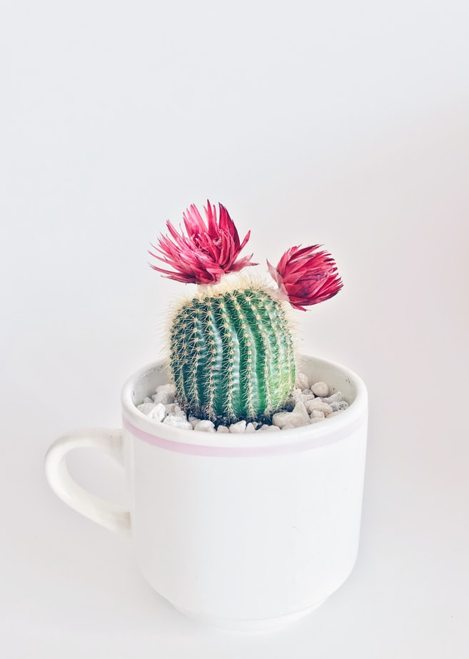 A small cactus with two pink flowers.