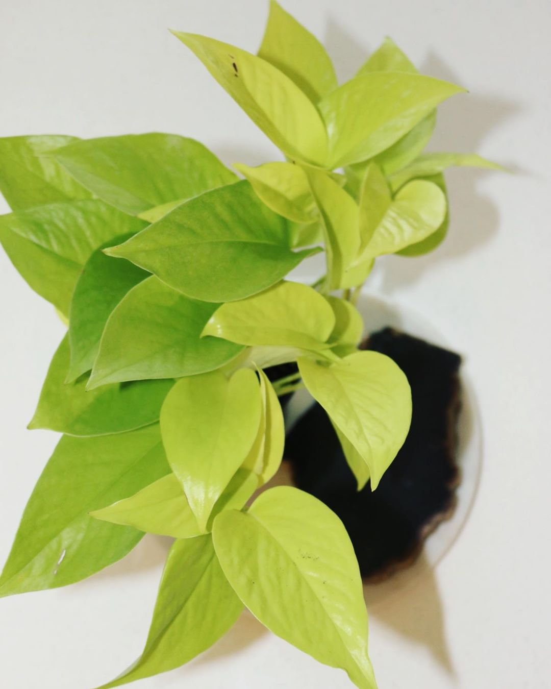 @lady.botanical A neon pothos plant example.