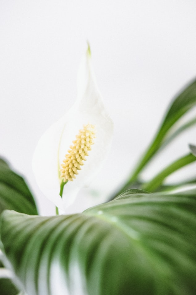 Close up of a peace lily.