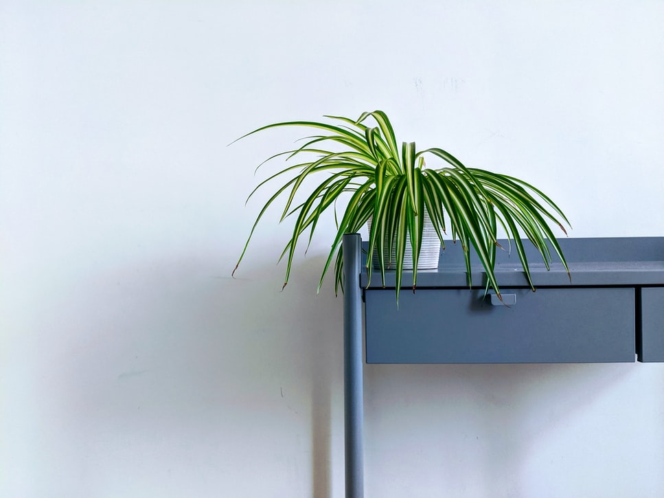 Small spider plant on a desk.